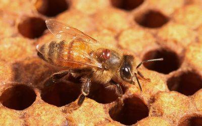Strategie anti-varroa folosind Uleiuri Esentiale