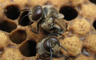 Cresterea și mentinerea trantorilor in coloniile de albine